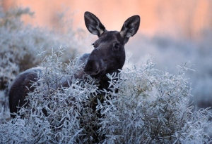 Facts About Maine Moose
